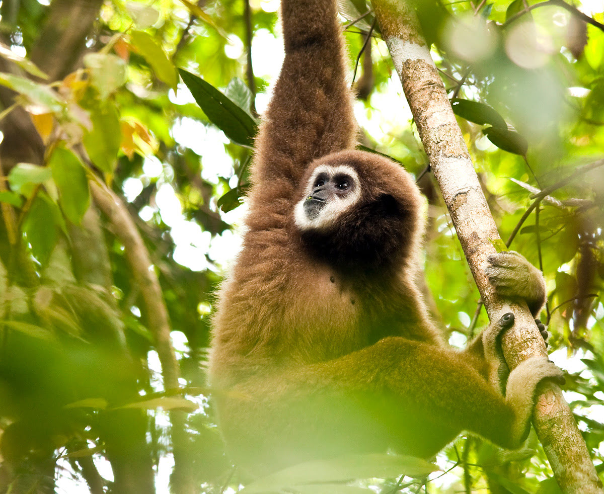 Things to do in Phuket-Thailand-Gibbon Rehabilitation Project
